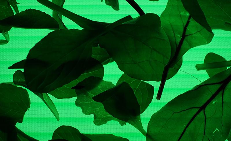 ベビーリーフ LED緑
